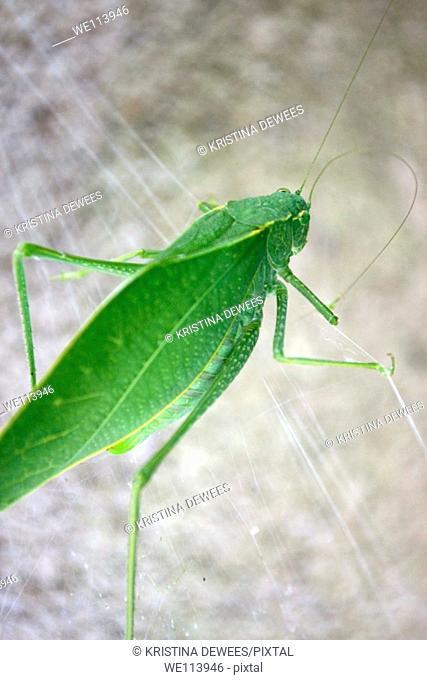 A large green katydid on a spiderweb