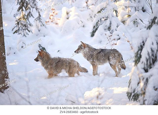 Close-up of two Eurasian wolves (Canis lupus lupus) in a snowy winter
