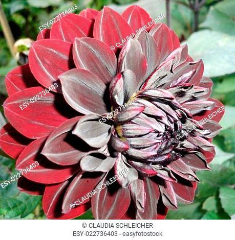 Dahlie Dahlia schwarz-rot