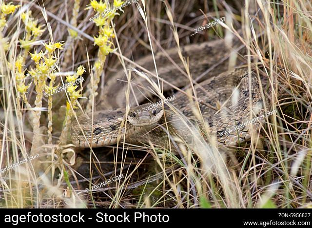 Coluber Hidden in the grass in a pose threats in the summer steppe