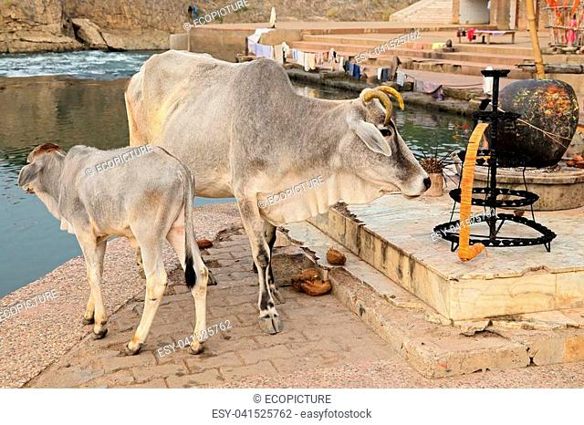 White Brahman cow and calf in rural India