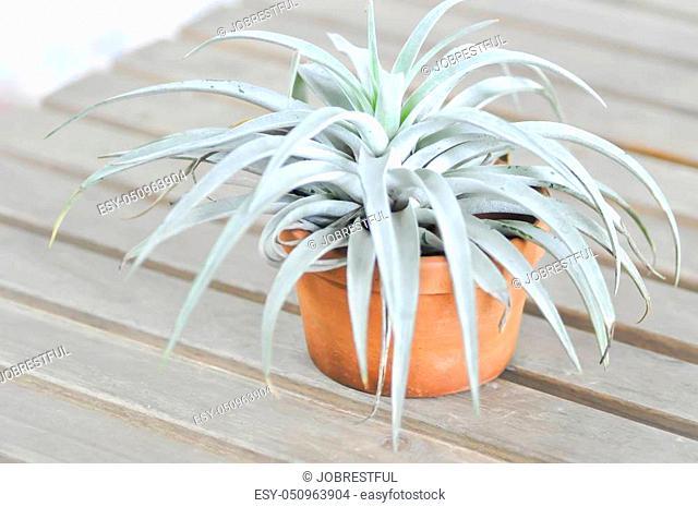 Tillandsia or Bromeliaceae plant