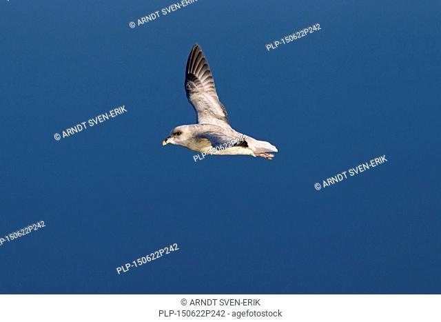 Northern fulmar / Arctic fulmar (Fulmarus glacialis) in flight above the sea