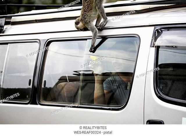 Uganda, Queen Elisabeth National Park, Curious vervet monkey climing on off-road vehicle