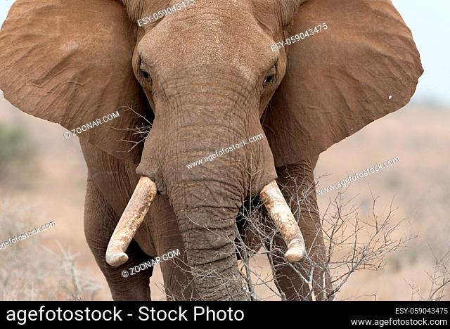 African elephant in the wilderness