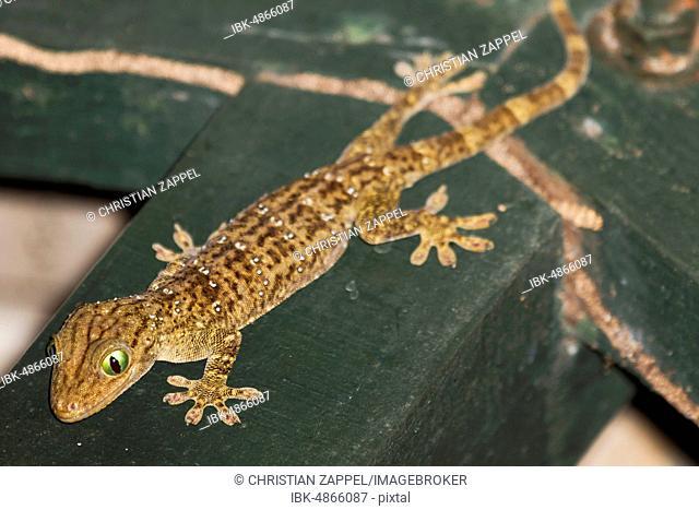 Large forest gecko (Gekko smithii), Sabah, Borneo, Malaysia