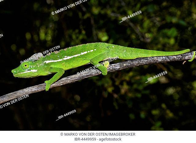 Belalanda chameleon (Furcifer belalandaensis), male, Belalanda, Madagascar