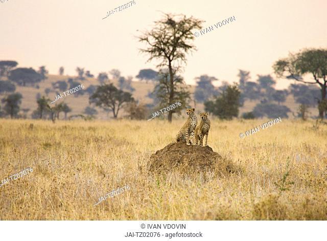 Acinonyx jubatus Cheetah, Serengeti National Park, Tanzania
