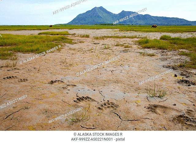 Brown bear tracks in the mud at Hallo Bay, Katmai National Park and Preserve, Southwest Alaska, Summer