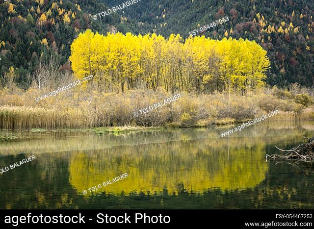 grupo de alamos en el embalse de Pineta, Populus Alba, valle de Pineta, parque nacional de Ordesa y Monte Perdido, Provincia de Huesca