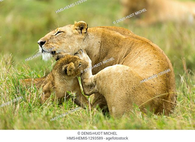 Kenya, Masai Mara national reserve, lion (Panthera leo), cub playing with its mother cleaning herself