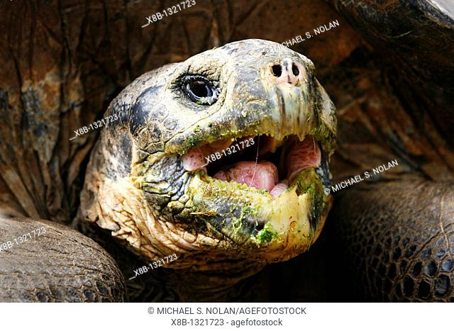 Captive Galapagos giant tortoise Geochelone elephantopus head detail while being fed at the Charles Darwin Research Station on Santa Cruz Island in the...