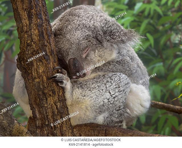 The Koala (Phascolarctos cinereus) is an arboreal herbivorous marsupial native to Australia. It is the only extant representative of the family Phascolarctidae