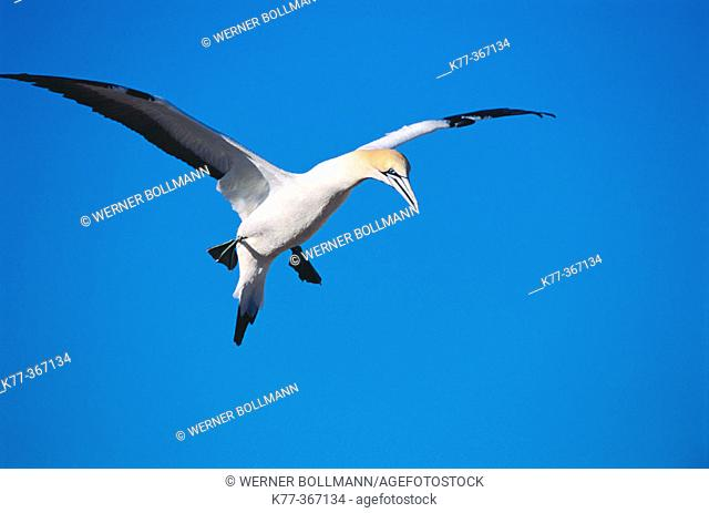 Cape gannet landing (Sula capensis). Lamberts Bay, South Africa