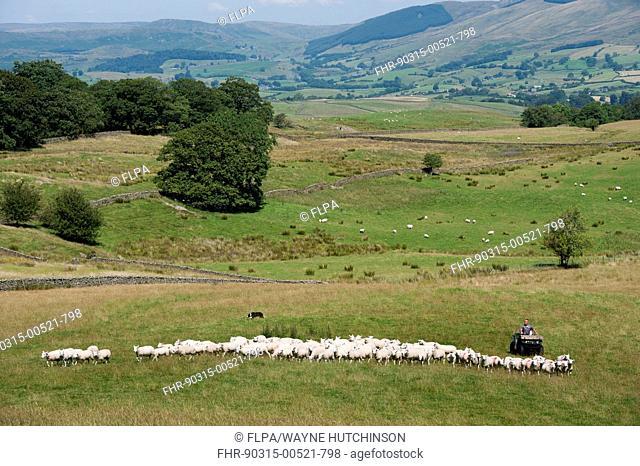 Sheep farming, shepherd on quadbike with sheepdog, moving flock of sheep in pasture, Cumbria, England, July