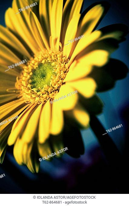 Close-up of a flower: Gerbera, African Margarita Gerbera jamesonii