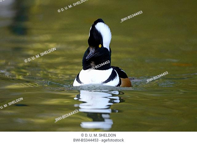 Hooded merganser (Mergus cucullatus, Lophodytes cucullatus), swimming