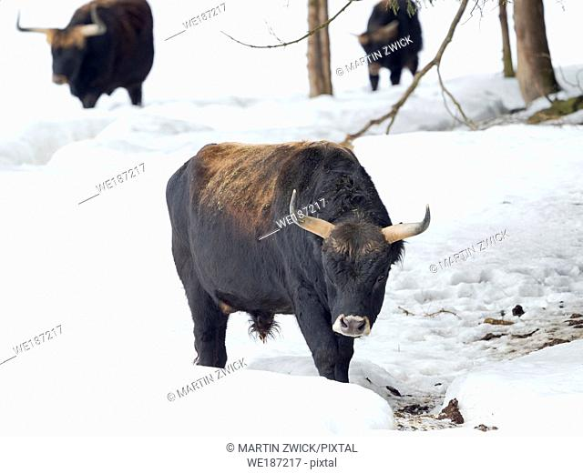 Heck Cattle (Bos primigenius taurus), an attempt to breed back the extinct Aurochs from domestic cattle. Winter in the National Park Bavarian forest...