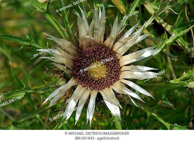 Flower of the Silver thistle (Carlina acaulis)