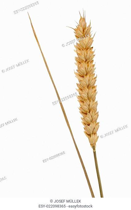 Ähre vom Getreide
