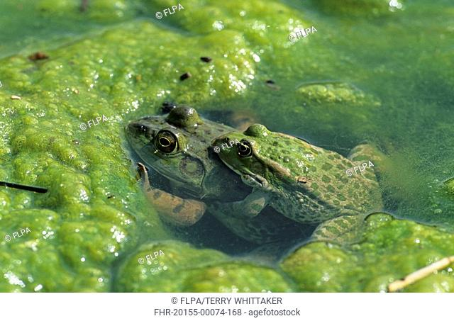 Marsh Frog Rana ridibunda adult, in amplexus with American Bullfrog Rana catesbeiana, both introduced species, England