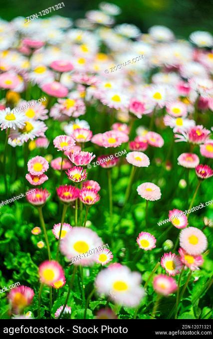 Garden daisy or margharetha flowers with dew in the garden
