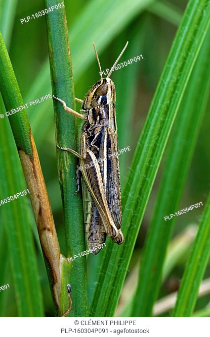 Straw-coloured grasshopper / Jersey Grasshopper (Euchorthippus elegantulus / Euchorthippus pulvinatus), female climbing grass stem