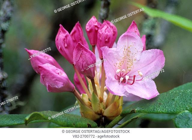 Pacific rhododendron (Rhododendron macrophyllum), Umpqua Dunes Scenic Area, Oregon Dunes National Recreation Area, Oregon