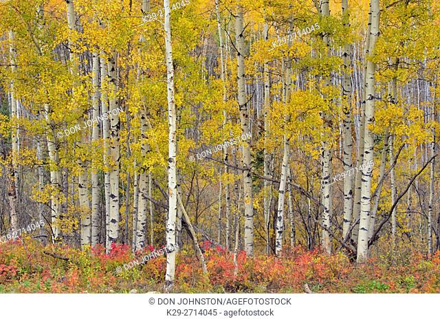 Autumn aspens in the Meikie River Valley, Manning, Alberta, Canada