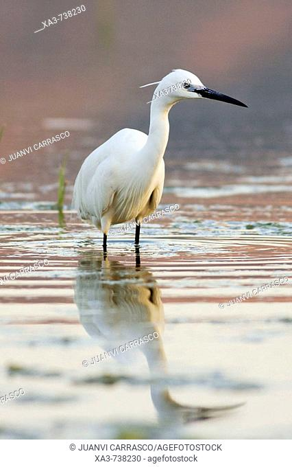Little egret , Egretta garzetta , at lagoon