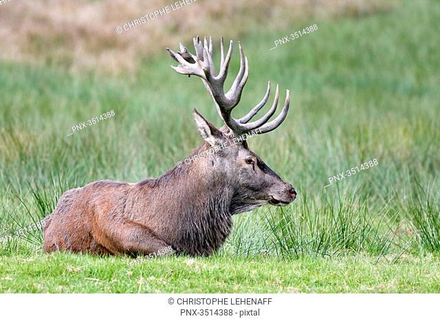 France, Burgundy, Yonne. Area of Saint Fargeau and Boutissaint. Slab season. Stag in a meadow, at rest after belling