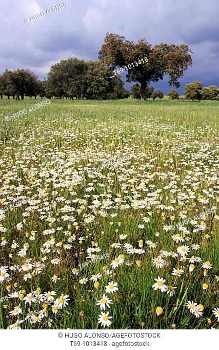 Daisy flowers in Monfrague Natural Park. Caceres province. Extremadura. Spain