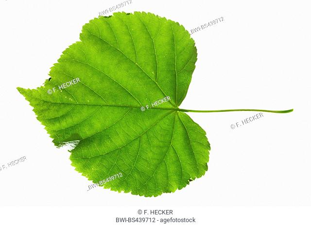 small-leaved lime, littleleaf linden, little-leaf linden (Tilia cordata), single leaf, upper side, cutout