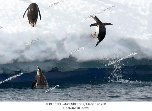 Gentoo Penguins (Pygoscelis papua) jumping out of the water onto an ice floe, Antarctic Peninsula, Antarctica