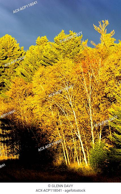 A passing rain/snow shower makes a dramatic backdrop for the autumn birch leaves in sunlight. Killarney Provincial Park, Ontario, Canada