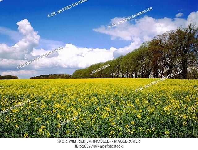 Canola field near Krummin in front of a linden alley, Usedom, Mecklenburg-Western Pomerania, Germany, Europe