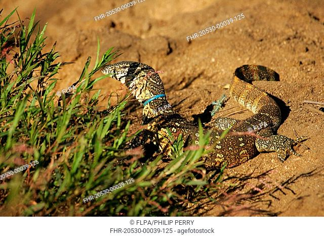 Nile Monitor Varanus niloticus being strangled by plastic loop, pollution, Sabi Sand Game Reserve, South Africa