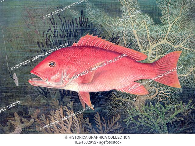 Red Snapper, 1878. From Game Fishes of the United States, by SA Kilourne, 1878