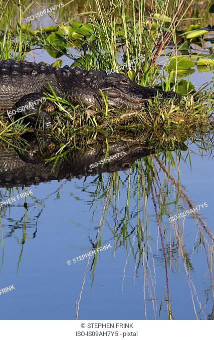 American alligator at rest