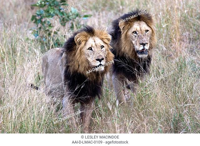 Pair of male lions, Kruger National Park