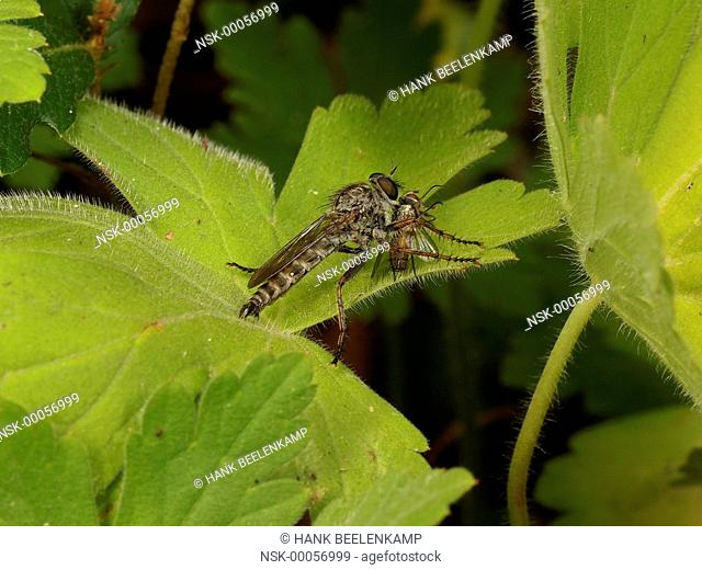 Kite-tailed Robberfly (Machimus atricapillus), France