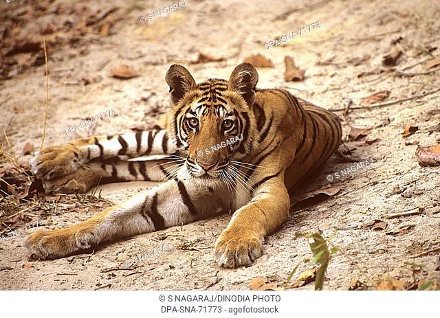 Tiger Panthera tigris sitting , Bandhavgarh National Park , Madhya Pradesh , India