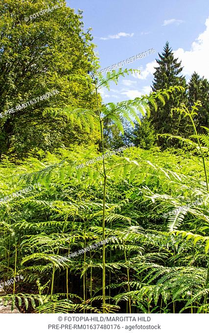 Fern frond at Hühnerfeld nature reserve, Kaufunger Wald, Göttingen district, Lower Saxony, Germany / Farnwedel im Naturschutzgebiet Hühnerfeld, Kaufunger Wald
