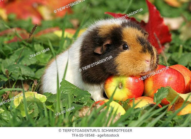 US Teddy guinea pig in the autumn