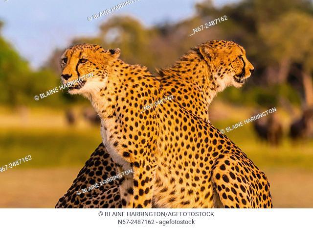 Two cheetahs on a mound, near Kwara Camp, Okavango Delta, Botswana
