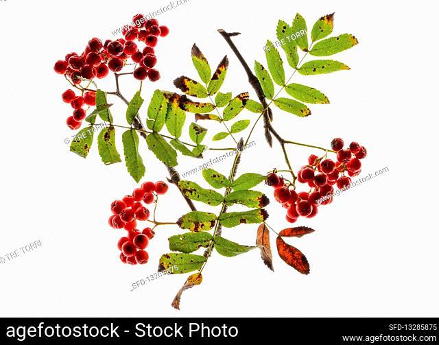 Back-lit rowan sprigs with berries