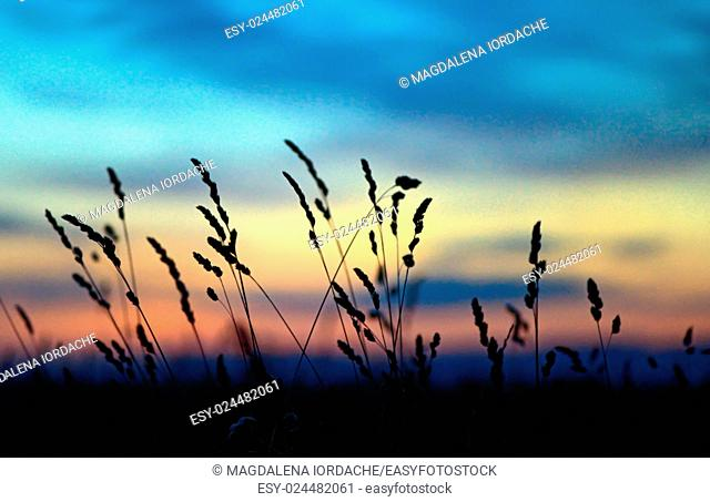 Dried flowers and grass on a background sunset