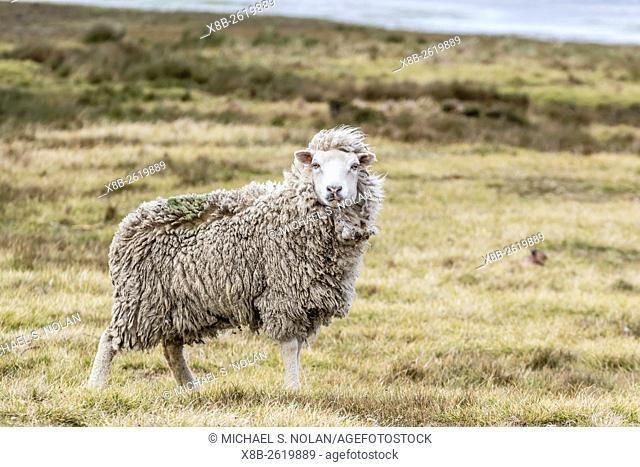 Sheep waiting to be shorn at Long Island sheep Farms, outside Stanley, Falkland Islands, U. K. Overseas Protectorate