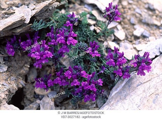 Alpine toadflax (Linaria alpina) is a perennial herb native to central and southern European mountains. This photo was taken in Lleida Pyrenees
