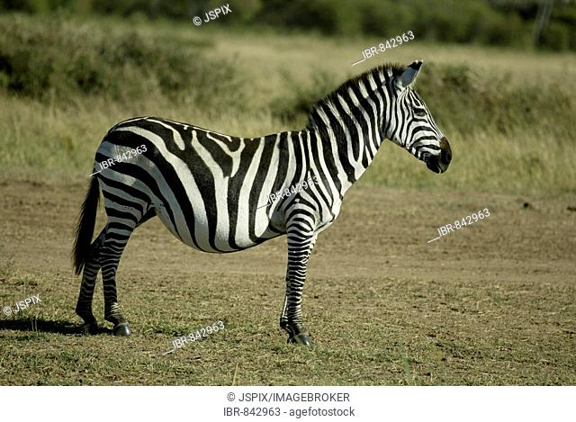 Grant's Zebra (Equus quagga boehmi), pregnant adult mare, Masai Mara, Kenya, Africa